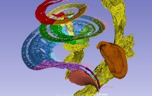Des chercheurs créent une 1ère carte 3D des zones d'encodage des fréquences sonores par la cochlée