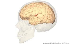 De nouvelles recherches remettent en cause les théories sur la façon dont le cerveau « comprend » la parole